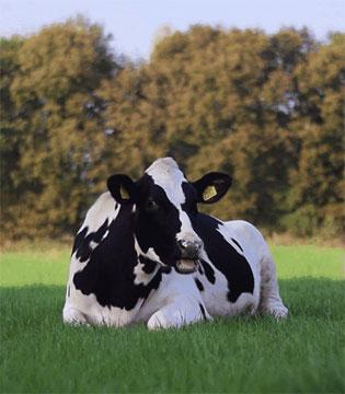 天天想着春节年假?Duri丽维家的奶牛都是享受2个月带薪假的!