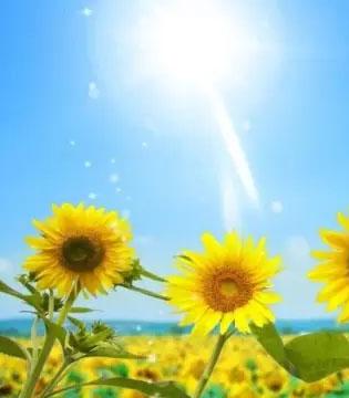 永高人晚安故事  为什么向日葵会跟着太阳转