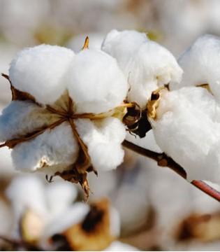 黄河流域:棉苗陆续出叶 棉价上涨遇阻