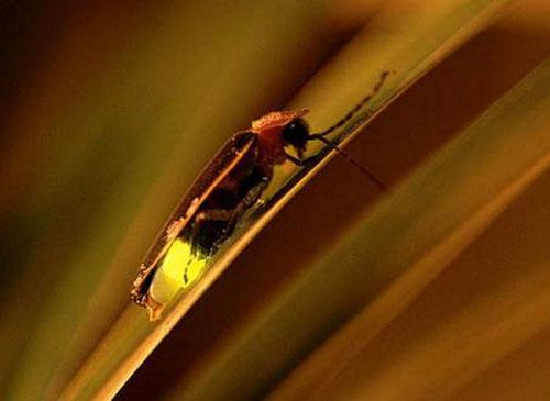 为什么萤火虫会发光