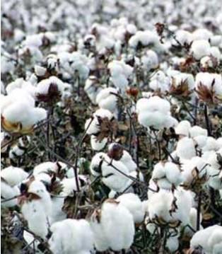为什么说棉花目标价格改革三年试点成效超预期