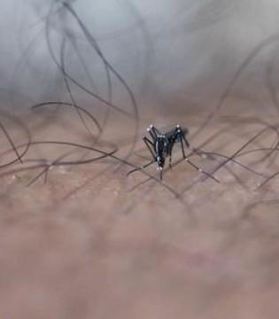 谷歌释放改造蚊子 不育蚊子预防寨卡
