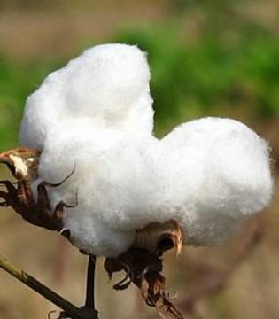 中国用棉企业又一条原料渠道被堵死