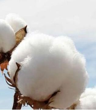 棉纱产销逐渐放缓 棉花上涨的脚步被拖延