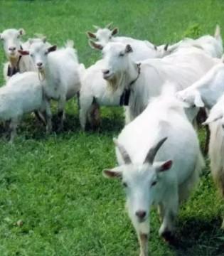 羊奶粉市场快速发展前景广阔 纯羊锦上添花