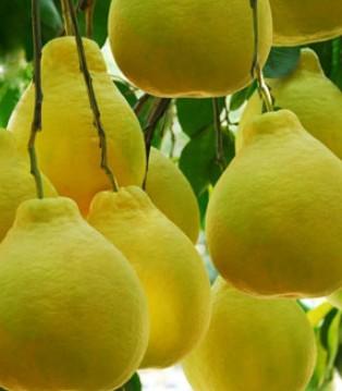 秋冬季节 这些煮的水果很好用 完全没有副作用