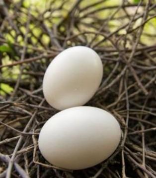 孕妇吃鸽子蛋一天几个为好 3~5颗为宜