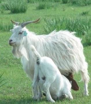 和氏乳业脑洞时刻 那些和羊奶有关的故事