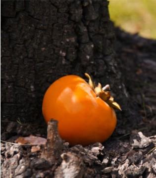 """柿子吃不对当心胃里长""""石头"""" 这3种吃法最伤身"""