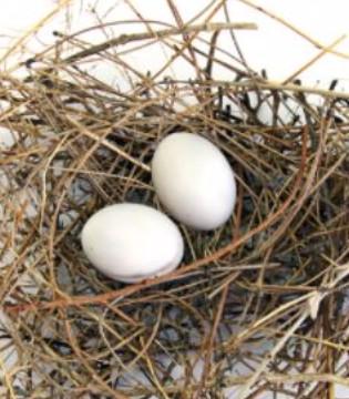 孕妇可以吃鸽子蛋吗 可以防备小儿麻木症