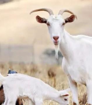 羊奶粉厂家通知你羊奶粉的养分代价
